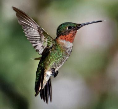 Ruby-Throated-Hummingbird-About-3
