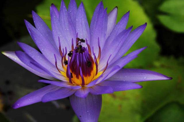 purple-lotus-2-web
